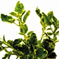 Bio Weißbunter Majoran Kräuterpflanze von LÀBiO! Kräuter auf Du und dein Garten