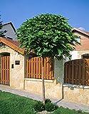 Catalpa bignonioides Nana Kugeltrompetenbaum Trompetenbaum Kugelbaum (Stammhöhe 125 cn)