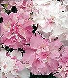 Fiore - Petunia - Double Pirouette Orchid Mist - 30 Semi Pellettati