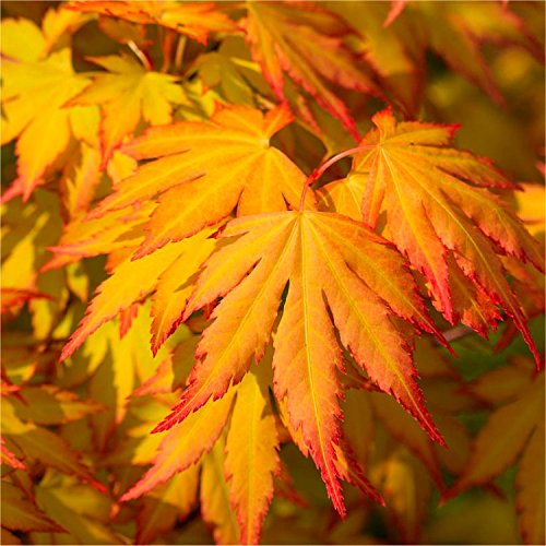 acer-palmatum-cascade-gold-golden-foliage-weeping-waterfall-japanese-maple-large-tree