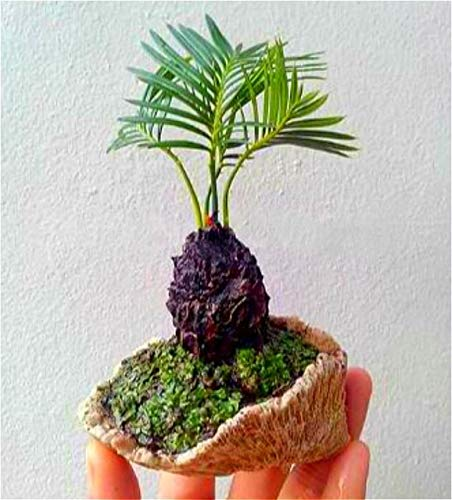 ShopMeeko SEEDS: 100 Stück Mini Sago Cycas Bonsai Revoluta Bonsai Bonsai-Baum Sementes Topfevergreen Diy Anlage für DIY Hausgarten Deco: Grün -