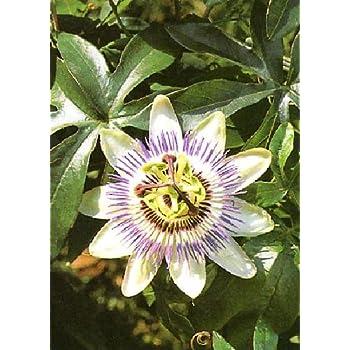 TROPICA - Passiflora di maracujá (Passiflora edulis) - 40 Semi- Piante rampicanti