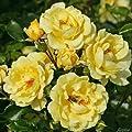 Beetrose 'Gelber Engel®' - ADR-Rose von Garten Schlüter bei Du und dein Garten