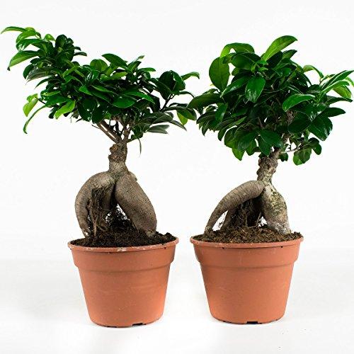 Arbres d'intérieur de Botanicly - 2 × Bonsaï - Hauteur: 40 cm - Ficus ginseng