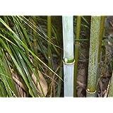 Fargesia papyrifera - bambou cespiteux, non traçant - 15 graines