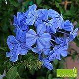 Plumbago indica (Gelsomino azzurro) [Vaso Ø17cm]