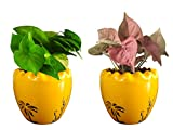 #5: Rolling Nature Combo of Good Luck Air Purifying Live Money Plant and Pink Syngonium in Yellow Ruffel Aroez Ceramic Pot
