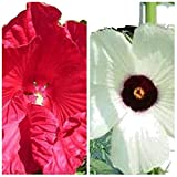 Hibiskus SET: KENAF und MOSCHEUTOS, weiss und rot, 10+10 Samen getrennt verpackt,von unserer ungarischen Farm samenfest, nur natürliche Dünger, KEINE Pesztizide