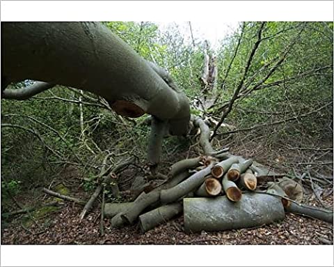 Photographic Print of Beech Tree - fallen - tidied to allow access to walkers