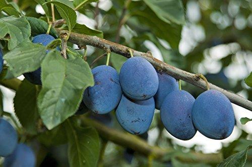Zwetschge 'Bühler Frühzwetschge' - (Prunus domestica 'Bühler Frühzwetschge')- Containerware