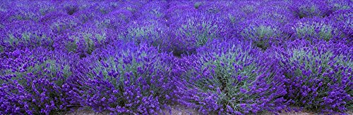 Charles Blakeslee/Design Pics - Agriculture - Mature Lavender in The Field in mid Summer/Near Sequim Clallam County Washington USA. Photo Print (76,20 x 25,40 cm)