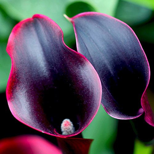 FOReverweihuajz 100Pcs Calla Lilie Samen Wunderschöne Zantedeschia Bonsai Topfpflanzen Pflanzen Garten Blumen Dekor - Orange/Rosa/Lila/Rose Red/White/Wein Rot/Gelbe Farbe
