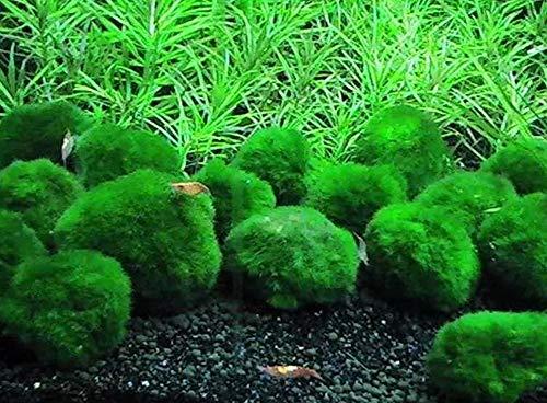 QHYDZ Samenhaus-30pcs Seltene Algenbälle Grünalgen Wasserpflanze Samen Aquarium immergrün Pflanzensamen Mooskugel und Moosbälle im Aquarium