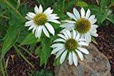 Echinacea Purpurea White Swan Set of 6 x 9cm Potted Perennials (Live Plants)