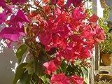 Bougainvillea (3er Set) 3 schöne Pflanzen ca. 130-150 cm hoch