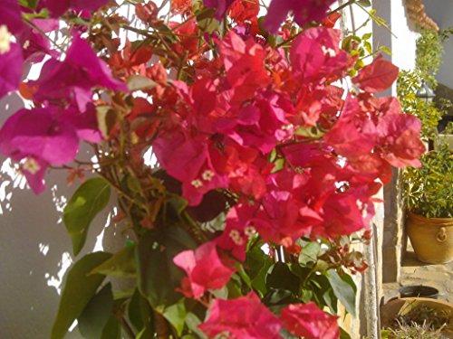 Bougainvillea - Drillingsblume (3er Set) 3 schöne Pflanzen ca. 130-150 cm hoch