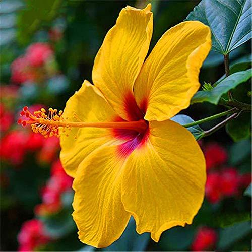 EgBert 50 Pcs/Pack Giant Hibiscus Seeds Blumenschimmel Schöne Blume Bonsai Pflanze DIY Home Garden - Gelb - Pflanzen Hibiscus Teller
