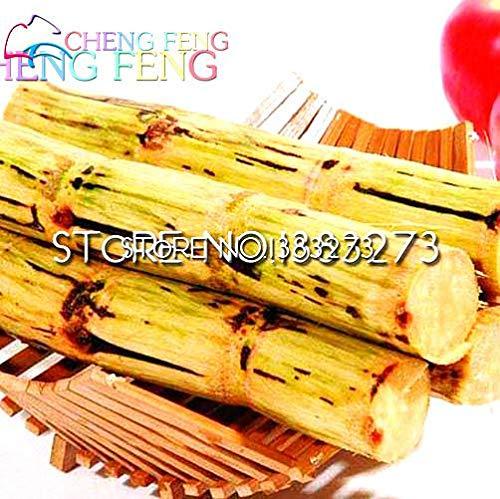 Pinkdose 100 piante pz dolce naturale canna da zucchero pianta piante saccharum officinarum vegetali piante da frutto rari home * frutta bamboo gigante: green light