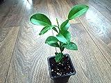 Yuzu, de plantes (Citrus junos) C. ichangensis × C. Plante Reticulata * * * * * * * * * * * * * * * * NOUVEAU.