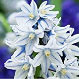 "Russian Snowdrop Pack of 50 or 100 Spring Flowering Bulbs Puschkinia ""Libanotica"" (50 bulbs)"