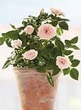 Fenstersticker rosa Rosen