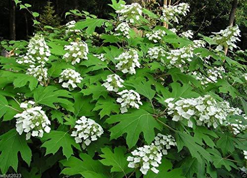 Shoppy Star Shoppy étoiles: 300 graines: Oakleaf Hydrangea Graine -Hydrangea quercifolia -Showy couleurs d'automne, Hardy à la zone 5. (300 graines)