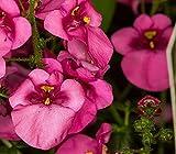 Rosafarbene Queen Twspur Diascia Barberae Blumensamen, immergrün, 100 Stück
