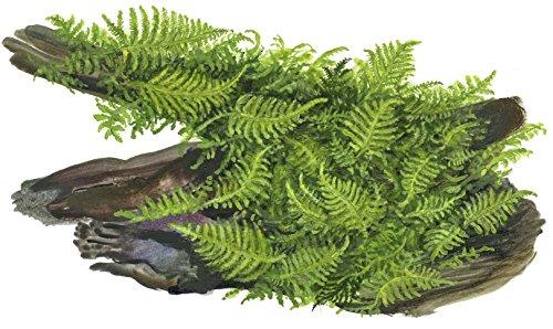 Tropica Vesicularia dubyana Christmas Moss 1-2-Grow Tissue Culture In Vitro Live Aquarium Plant Shrimp Safe & Snail Free 2
