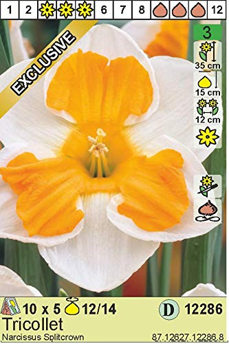 """ANGEBOT : Narcissus – Narzisse/Osterglocke"""" Tricollet"""" (5)"""