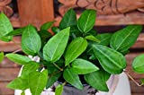 grüner Efeu Hedera helix Mein Herz 20 - 25 breit im 9 cm Rundtopf