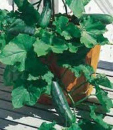 Frische Heirloom SPACEMASTER Cucumber - 100 Seeds - Non GMO - Kompaktanlagen - Ausgezeichnete Ausbeuten