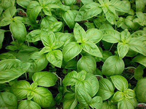 Pinkdose 1000 Basil Seeds - Sweet Genovese, Ocimum basilicum, Untreated Seed -