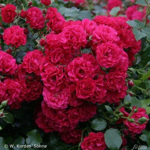 Rose Gärtnerfreude® - Bodendeckerrose himbeerrote Blüten - Kleinstrauchrose Pflanze Winterhart Halbschattig Mehltau-Resistent von Garten Schlüter - Pflanzen in Top Qualität