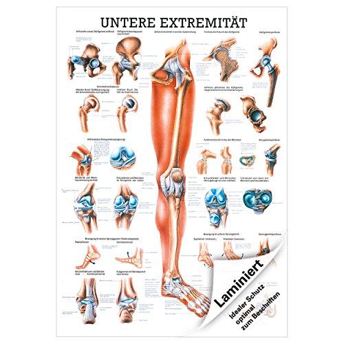Untere Extremität Mini-Poster Anatomie 34x24 cm medizinische Lehrmittel
