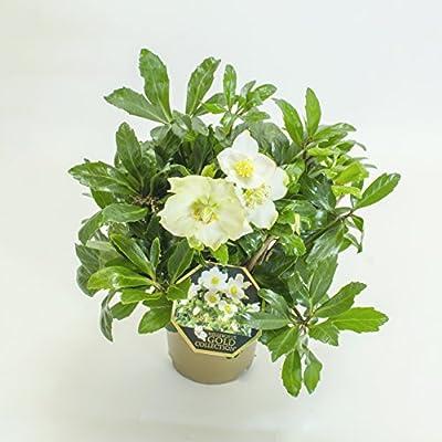 XL Weiße Christrose - Helleborus Niger - Die echte Schnee-Christrose als Winterblüher für den Garten - Weihnachtsrose von Inter Flowers GmbH auf Du und dein Garten