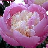Pfingstrose Bowl of Beauty - Rose stark duftend und winterhart -Paeonia lactiflora- Blüten der Blume rosa - Pflanze von Garten Schlüter