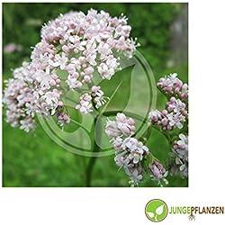 Semillas de hierbas - Valeriana / Valeriana officinale 30 semillas