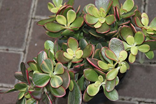 Zimmerpflanze für Wohnraum oder Büro – Crassula Ovata – Geldbaum