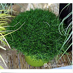 Portal Cool 100 Seeds Irish Moss Ground Cover Perennial Live Moss Planting Garden Terrarium