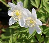 WFW wasserflora Buschwindröschen/Anemone nemorosa im 9x9 cm Topf