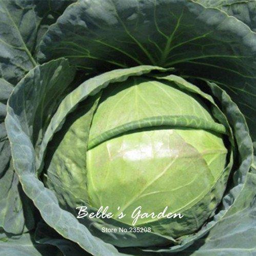 100pcs Chou Semences potagères vert bio Graines LACTUCA non-OGM jardin