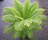 Blechnum gibbum - Rippenfarn - 10 Samen
