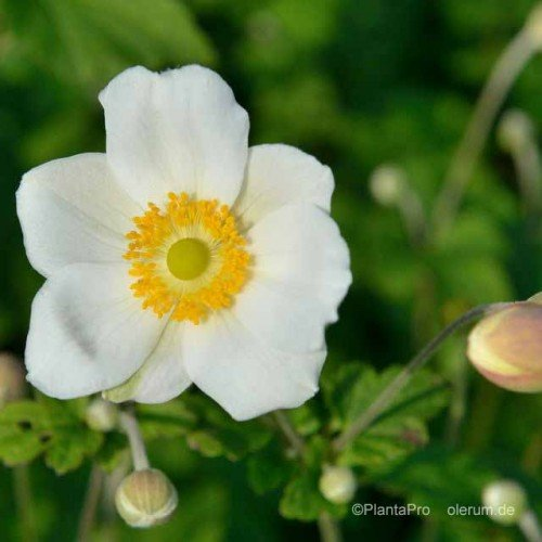 Herbst-Anemone, Anemone japonica 'Andrea Atkinson'