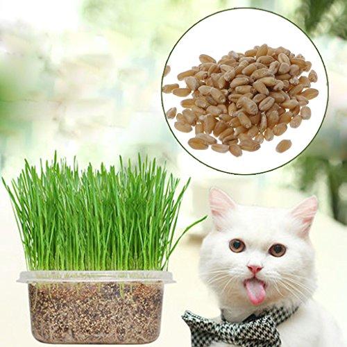 Dabixx 400 Piezas 100% orgánico Gato Hierba Semillas