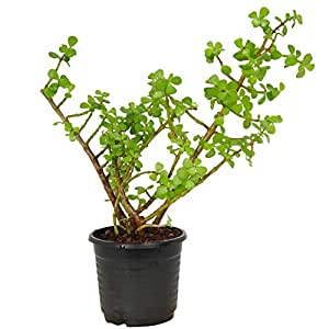 Zaavic Indoor Oxygen Jade Plant with Plastic Pot (Black)