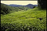 490067 Boh Tea Plantation In Malaysia A4 Photo Poster Print