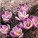 50 pcs / lot Safran Graines, Safran Graines de fleurs, safran Crocus graines, il n'est pas le Bulbes Safran 1