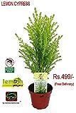 #7: Vamsha Nature Care Live Lemon Scented Goldcrest Cypress Tree - Indoors/Out/Fairygarden - 2.5