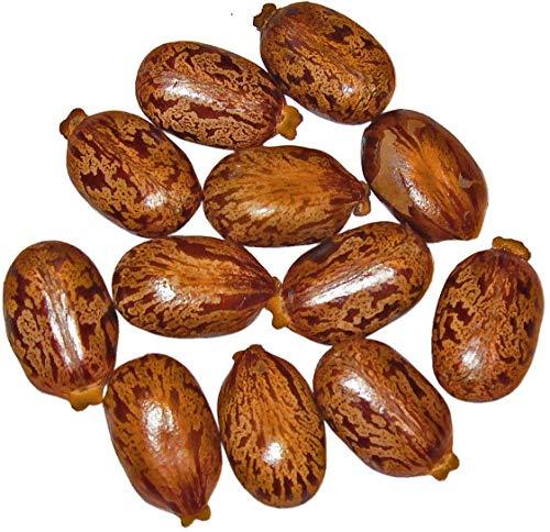 Shop Meeko 1 kg Samen Ricinus '' gibsonii '' Castor Bean -Ricinus communis- - Castor Bean