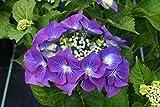 Hortensie blaue Blüte Bauernhortensie Blaumeise Hydrangea macrophylla Blaumeise Containerware 30-40 cm hoch